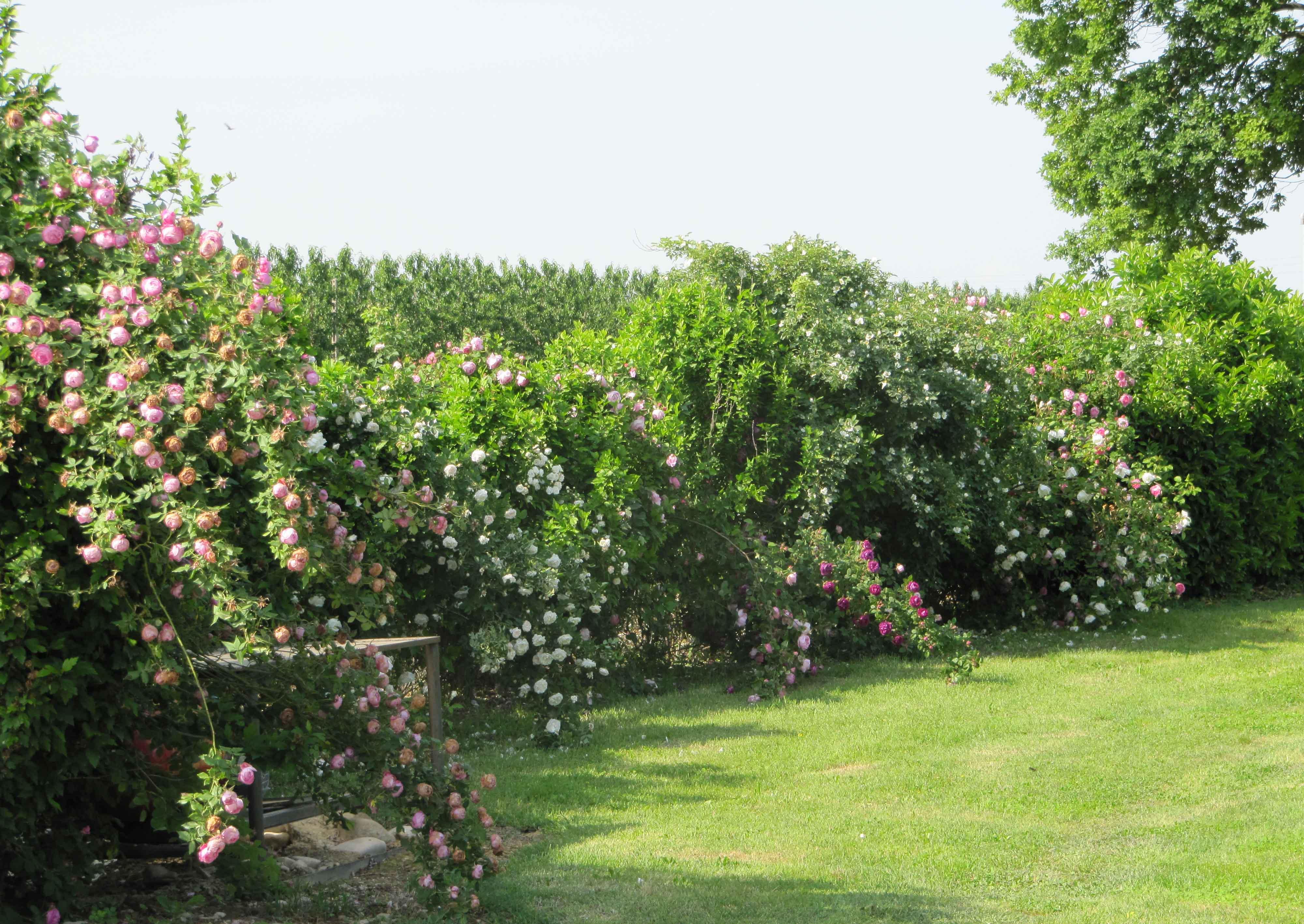 Siepe di rose centro giardino - Giardino con rose ...